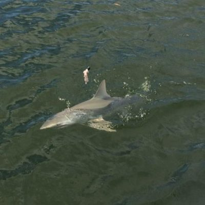 5 ft Lemon shark 10-15