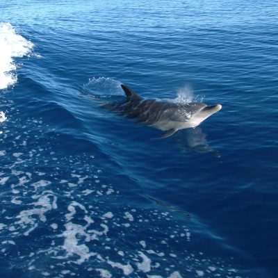 Gulf of Mexico Dolphin