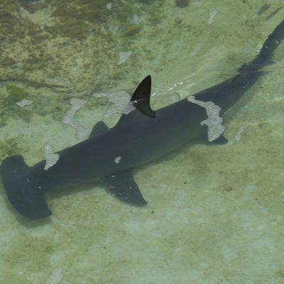 hammerhead-shark-298238_1920