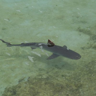 reef-shark-298240_1920