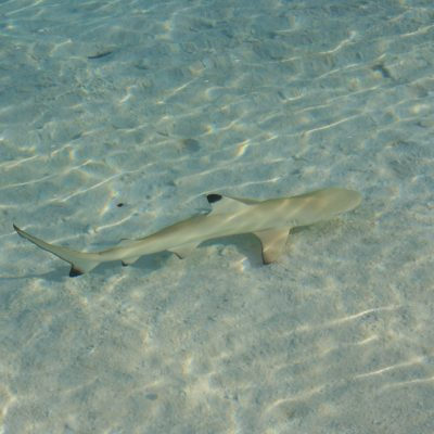 shark-665497_1920