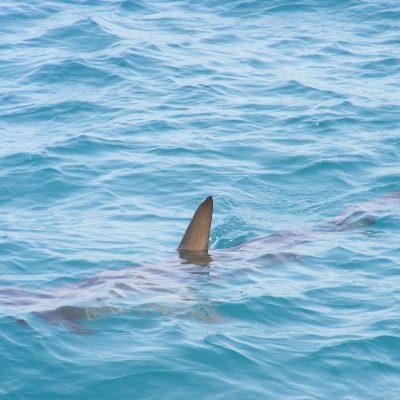 shark-fin-472685_1920